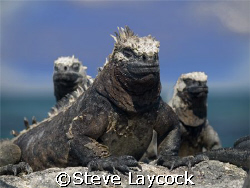 Marine Iguanas basking in the Galapagos sun by Steve Laycock 